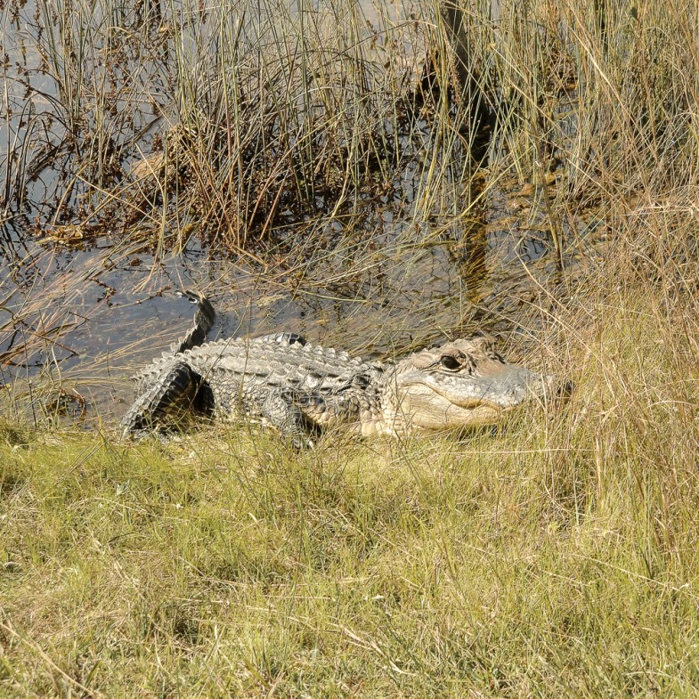 Alligator I