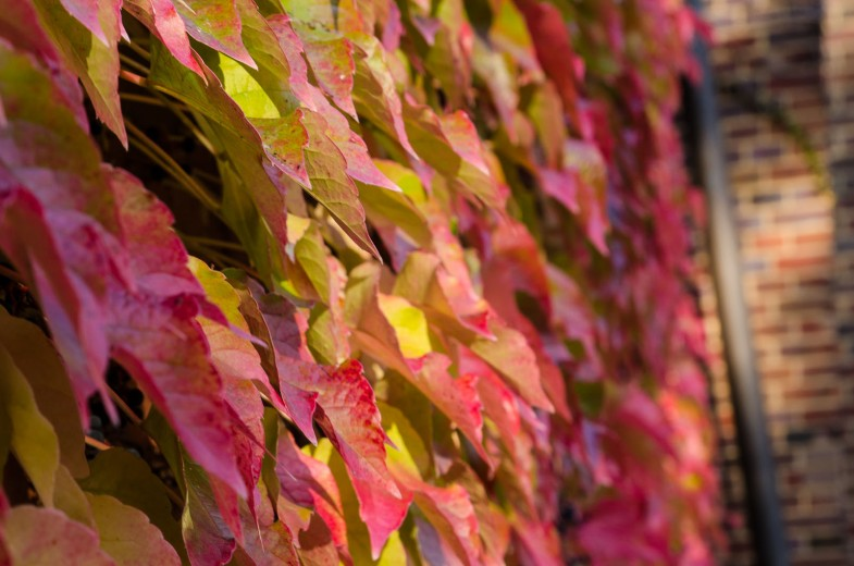 Wall covered in colorful ivy in autumn