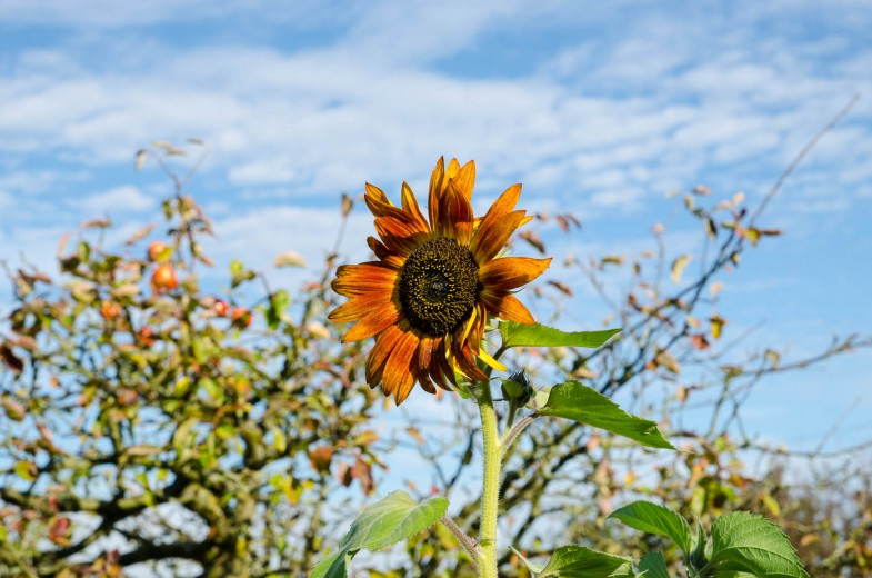 Dark orange sunflower in front of apple trees in autumn